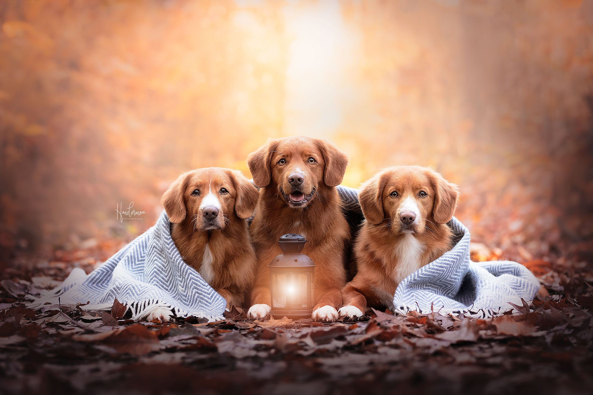 Tollers-vb-a